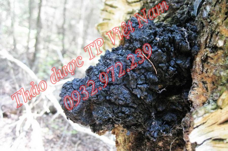 Nấm Chaga sống ký sinh trên cây.